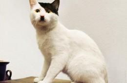 γάτες μοιάζουν με τον Χίτλερ