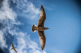sea-gull-bird-sky-nature-large